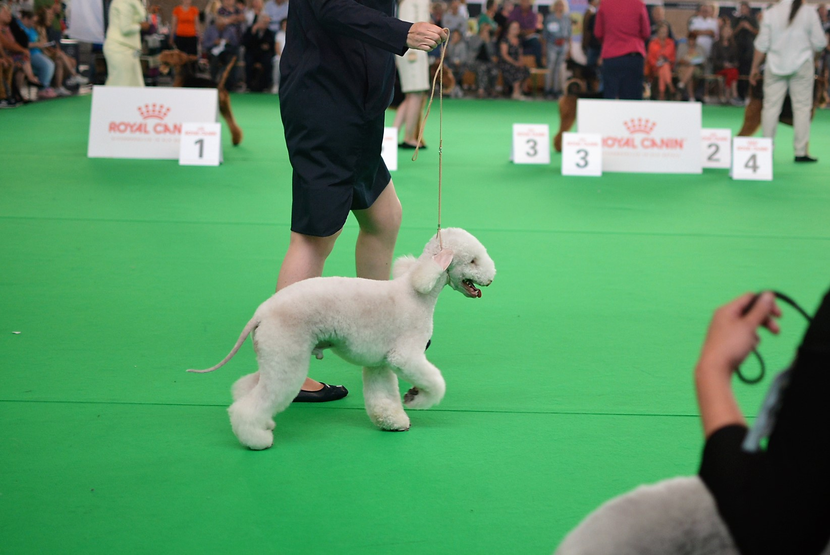 World Dog Show 2018 Almasy's My Name Is Bond 2